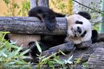Große Panda Familie 13
