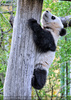 Große Panda Familie 14