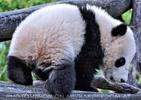 Große Panda Familie 15