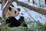 Große Panda Fütterung 1