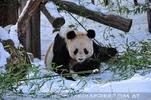 Große Panda Fütterung 2