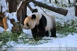 Große Panda Fütterung 3