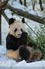 Große Panda Fütterung 4