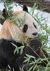 Große Panda Fütterung 5