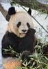 Große Panda Fütterung 6