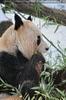 Große Panda Fütterung 7