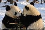 Große Panda Mahlzeit 20
