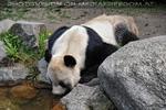 Große Pandas 01