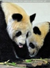 Große Pandas 07