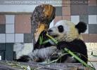 Große Pandas 11