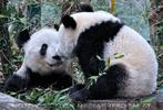 Große Pandas 12