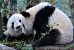 Große Pandas 13