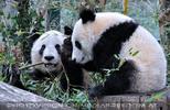 Große Pandas 16