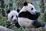 Große Pandas 17