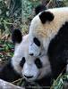 Große Pandas 18