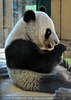 Großer Panda 02