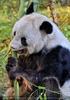 Großer Panda 04