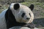 Großer Panda 07