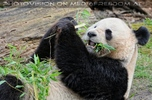 Großer Panda 08
