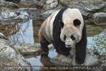 Großer Panda am Abend
