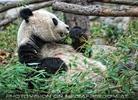 Großer Panda frisst Bambus