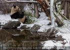 Großer Panda im Schnee