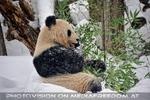 Großer Panda im Schneegestöber
