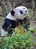 Großer Panda kratzt sich