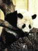 Großer Panda kraxelt