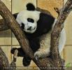Müder Babypanda