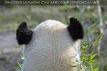 Großer Panda Normalansicht