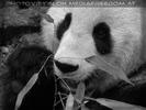 Großer Panda - Portrait
