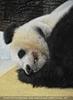 Großer Panda schläft