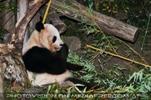 Großer Panda und sein Bambus