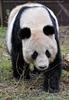 Großer Panda spaziert