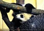 Großer Panda spielt