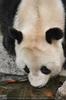 Gro�er Panda trinkt