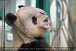 Großer Panda umsichtig