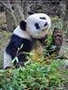 Großer Panda winkt