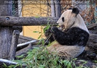 Großer Panda Winter 1