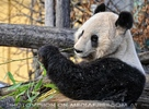 Großer Panda Winter 2