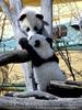 Kleine großer Pandas 01