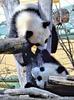 Kleine großer Pandas 04