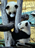 Kleine großer Pandas 11