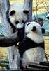 Kleine großer Pandas 12
