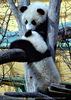 Kleine großer Pandas 13