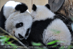 Kleiner großer Panda 11