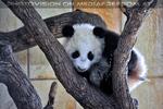 Kleiner großer Panda 16