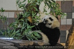 Kleiner großer Panda 3