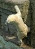 Kletternder Eisbär